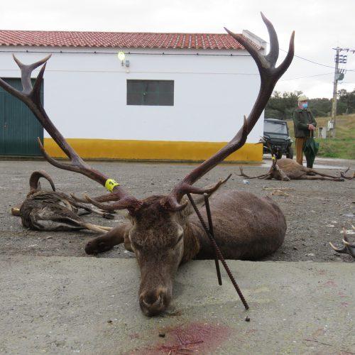 Veado de Posto nº 18. Caçador Pedro Gameiro.